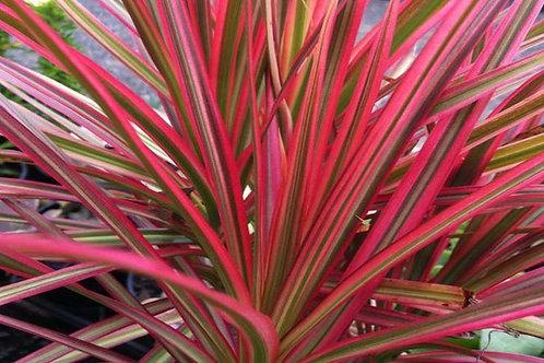 Dracaena marginata 'Colorama' 200mm