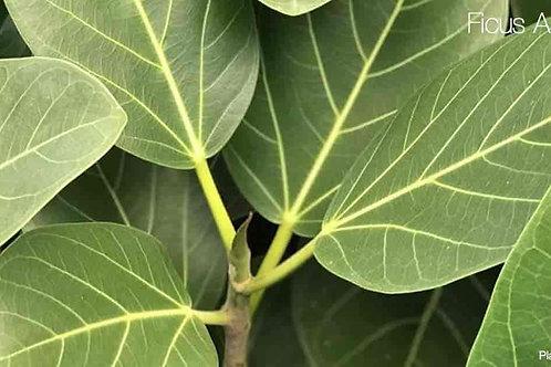 Ficus benghalensis 300mm