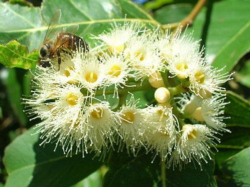 Eucalyptus deglupta 25Lt