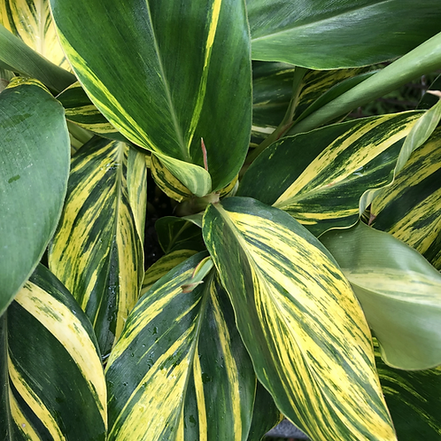 Alpinia zerumbet 'Shell Ginger' Variegated 200mm