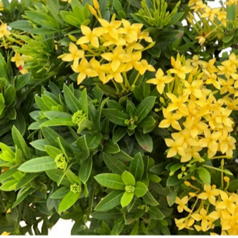 Ixora Dwarf 'Yellow' 140mm