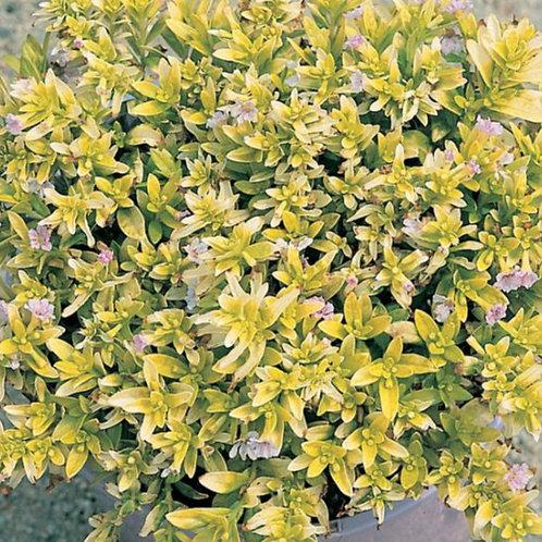 Cuphea 'Lemon Blush' 140mm