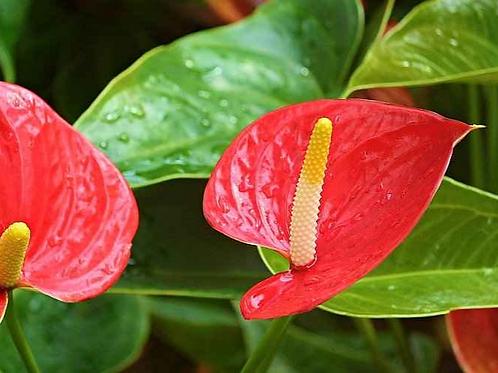 Anthurium andraeanum flamingo flower red 140mm