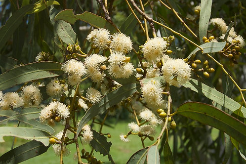 Eucalyptus herbertiana 20Lt