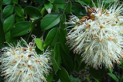 Maniltoa grandiflora lenticellata 20Lt