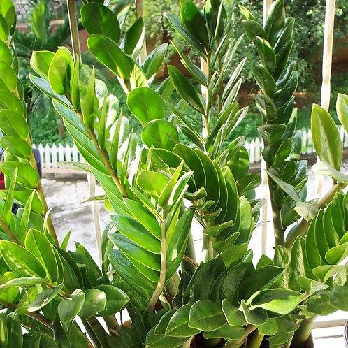 Zamioculas Zamifolia 200mm