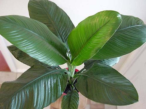 Spathiphyllum sensation 300mm