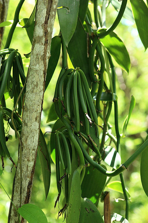 Planifolia orchid 140mm
