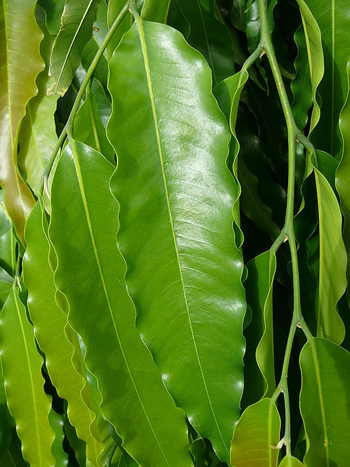 Polyalthia longifolia 200mm