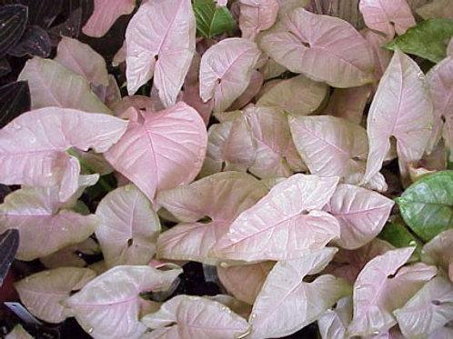 Syngonium podophyllum 'Neon' 200mm