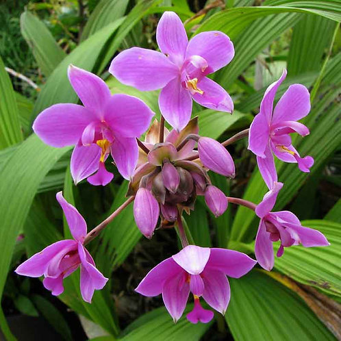 Spathoglottis 'Ground Orchid' 140mm