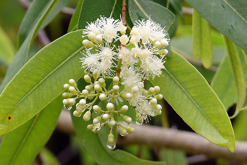 Syzygium armstrongii 200mm