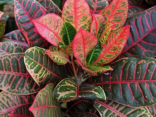 Codiaeum variegatum (Croton) 200mm
