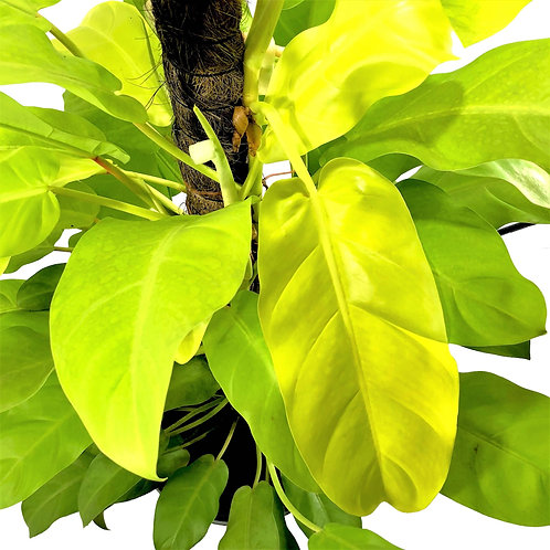 Philodendron erubescens 'Gold' 200mm