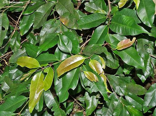 Syzygium nervosum 20Lt