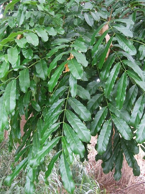Khaya senegalensis 20Lt