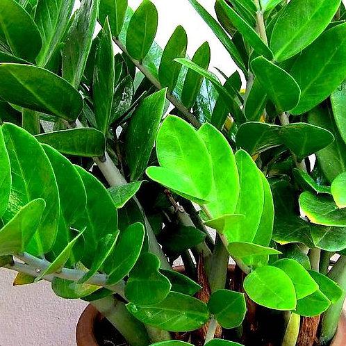 Zamiocolas zamifolia 'Desert Gem' 200mm