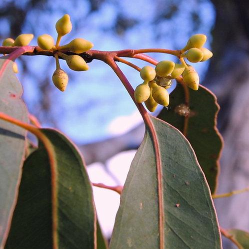 Eucalyptus herbertiana 200mm