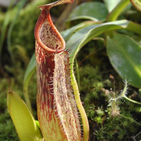 Nepenthes northiana 'Miranda'(Hanging Basket)