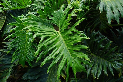 Philodendron selloum 200mm