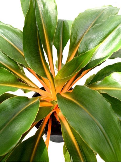 Chlorophytum orchidastrum Green Orange 200mm