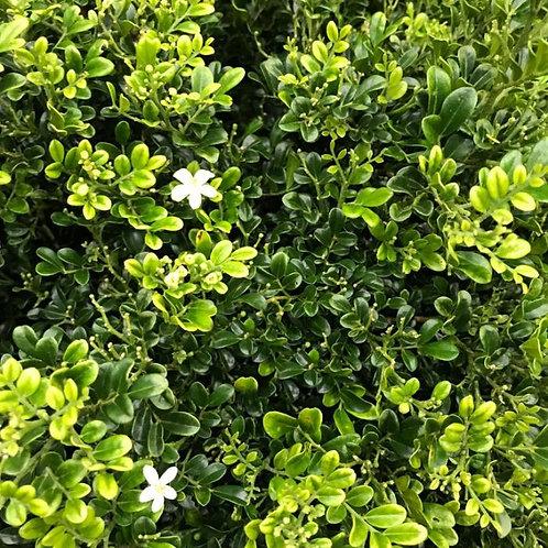 Murraya Paniculata 'Min-a-Min' 200mm