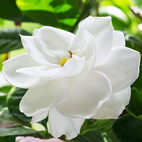 Gardenia augusta 'Ocean Pearl' 200mm