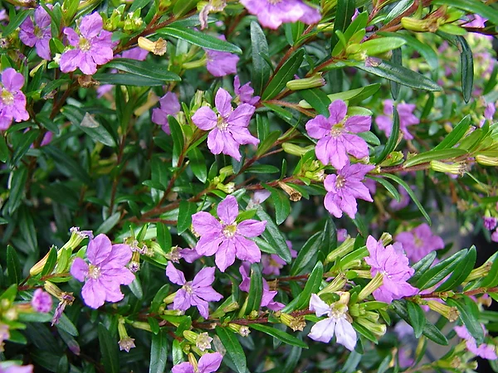 Cuphea purple 140mm