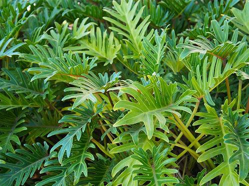 Philodendron xanadu 300mm