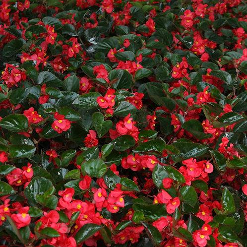 Begonia surefire red 140mm