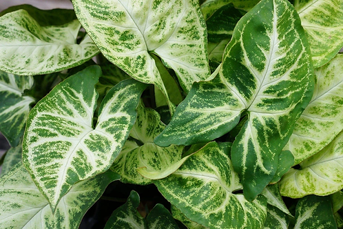 Syngonium 'White Butterfly' 140mm