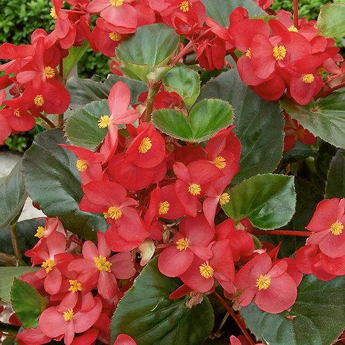Begonia green leaf red 140mm