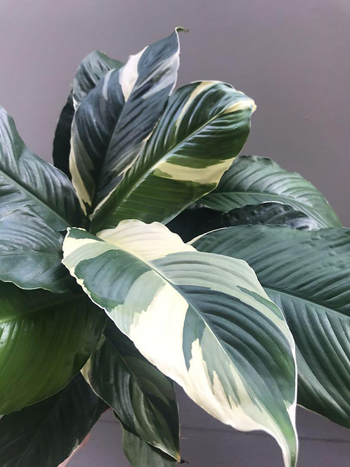Spathiphyllum picasso 200mm