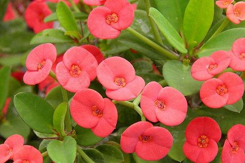 Euphorbia milii 200mm
