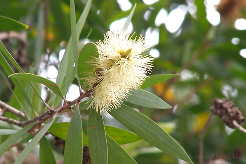 Melaleuca leucadendra 200mm