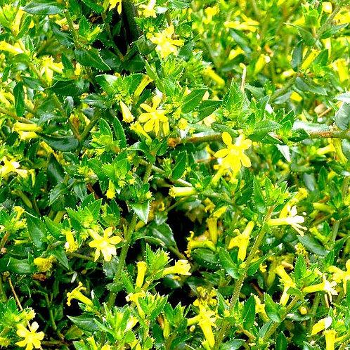Cuphea Mello Yello 140mm