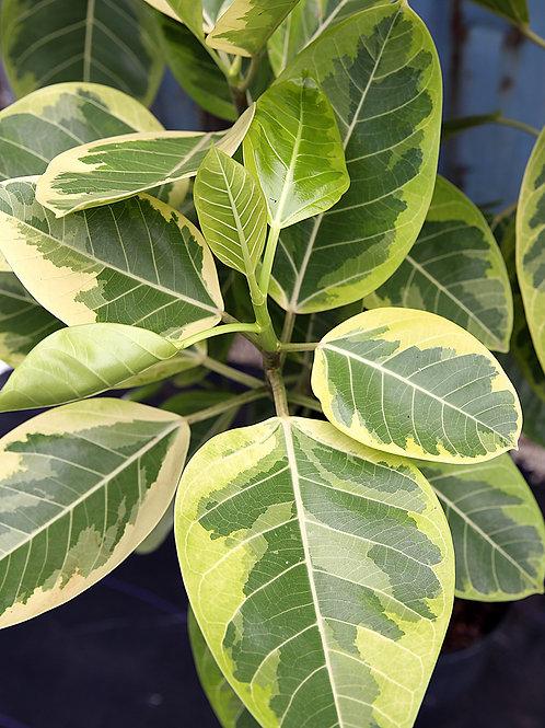 Ficus altissima 300mm