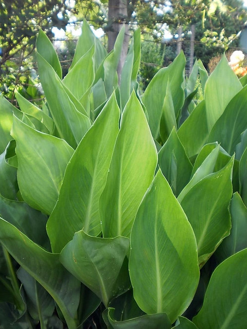 Canna lily 'Green Leaf' 200mm
