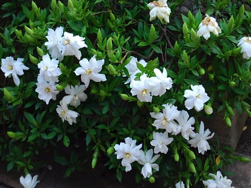 Gardenia 'Radicans' 140mm