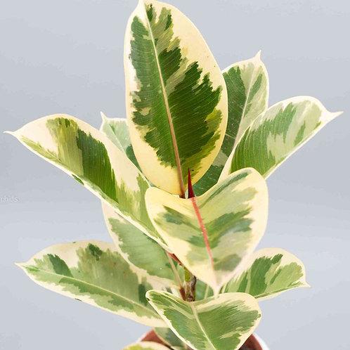 Ficus elastica 'Tineke' 200mm