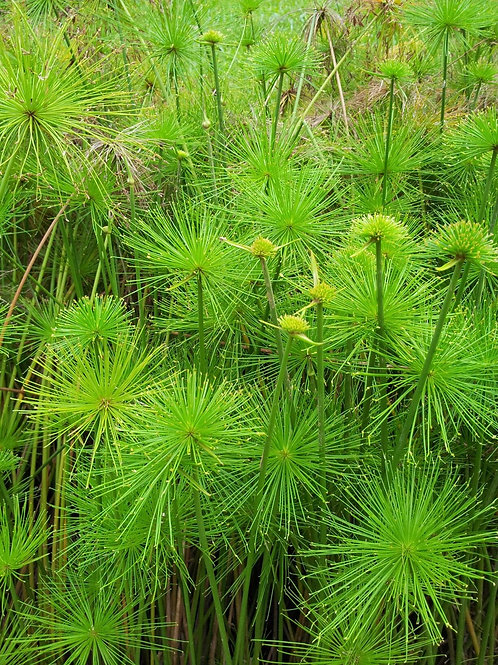 Cyperus papyrus 'Nana' 200mm