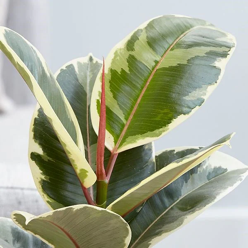 Ficus elastica 'Tineke' 300mm