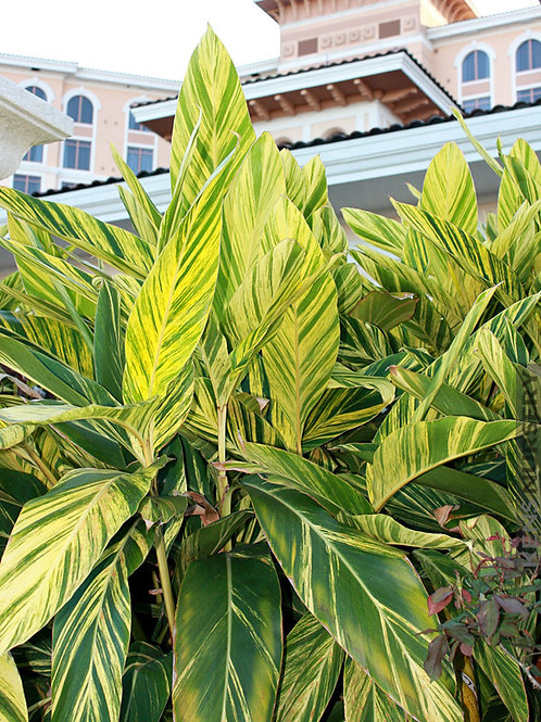 Alpinia zerumbet 'Golden Blaze' 200mm