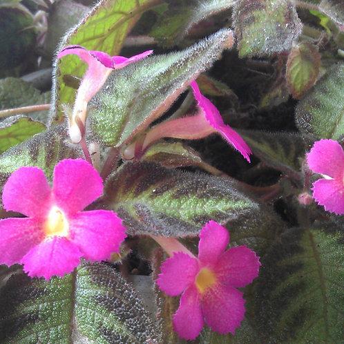 Episcia (Pink Flower)- Hanging Basket