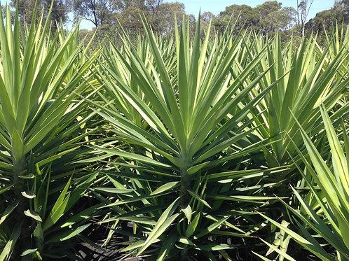 Yucca elephantipes 'Green' 300mm