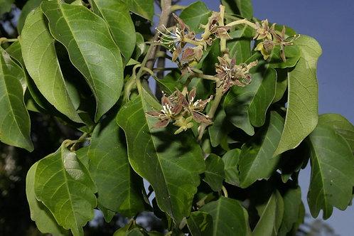 Arfeuillea arborescens 20Lt