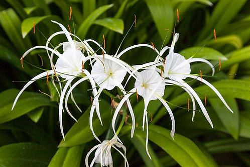 Hymenocalis littoralis(Spider Lilly) 140mm