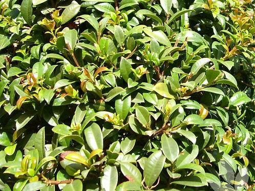Syzygium austral 'Aussie Boomer' 300mm