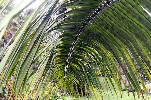 Elaeis guineensis 200mm