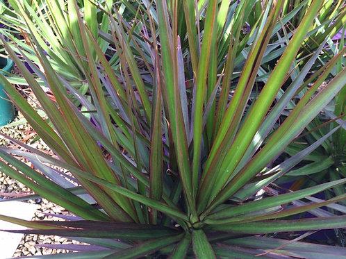Dracaena marginata 'Black Knight' 200mm